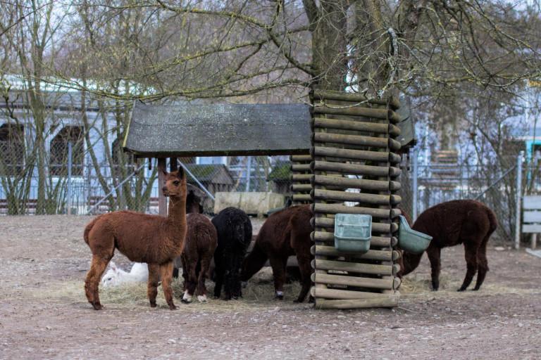 Lamas Hofer Zoo